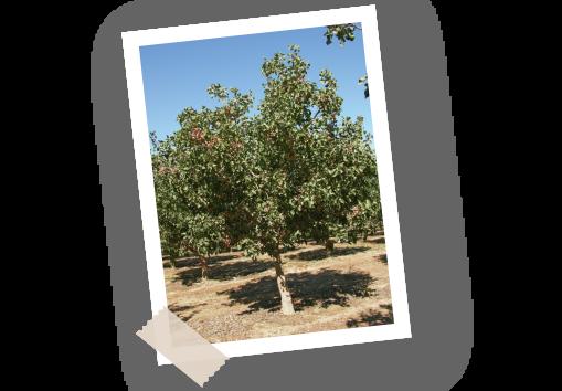 Filière pistache Menguy's