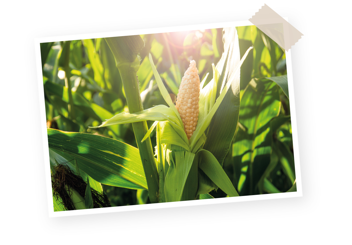 Filière maïs Menguy's