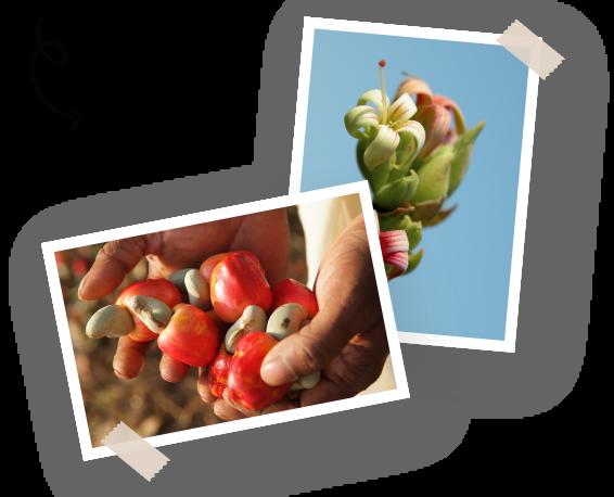 Filière noix de cajou Menguy's