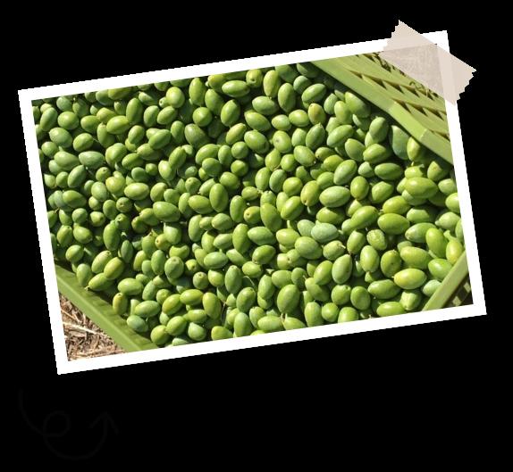 Filière olives Menguy's